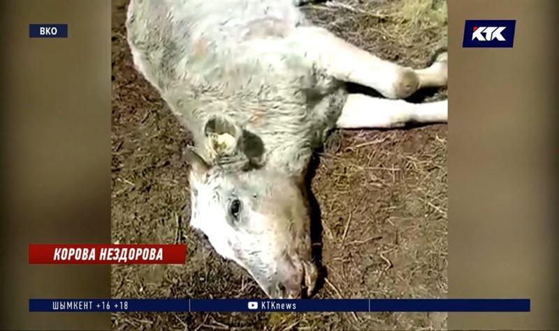 Причиной падежа скота в ВКО стал пастереллез