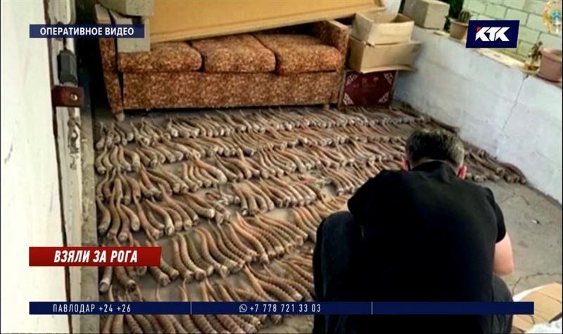 Более 400 сайгачьих рогов и оружие изъято у четверых жителей ЗКО