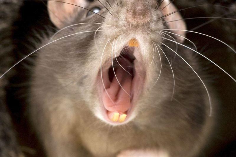 Каннибализм среди крыс выявлен из-за коронавируса