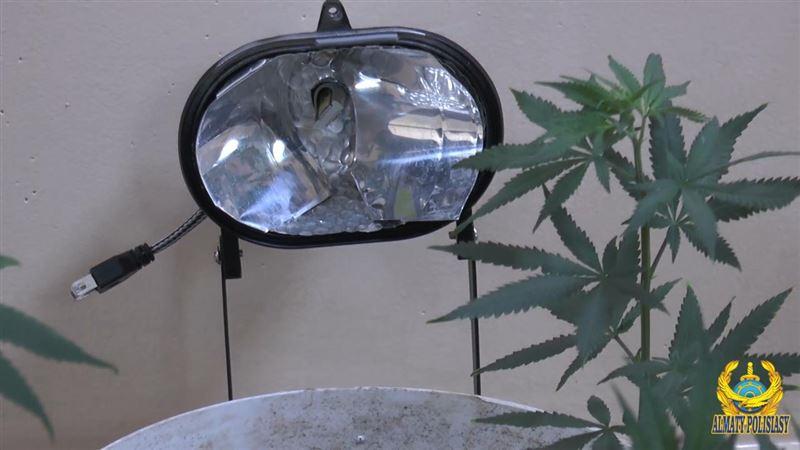 В Алматы семейная пара выращивала марихуану в квартире