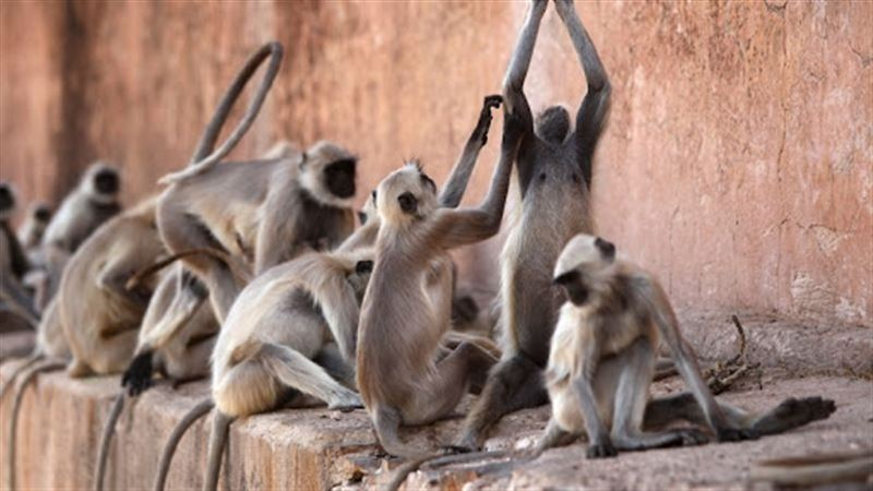 В Индии обезьяны похитили образцы крови возможных носителей COVID-19