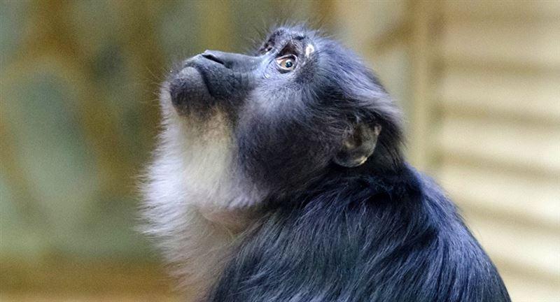 В Индии обезьяны украли образцы крови людей с подозрением на COVID-19