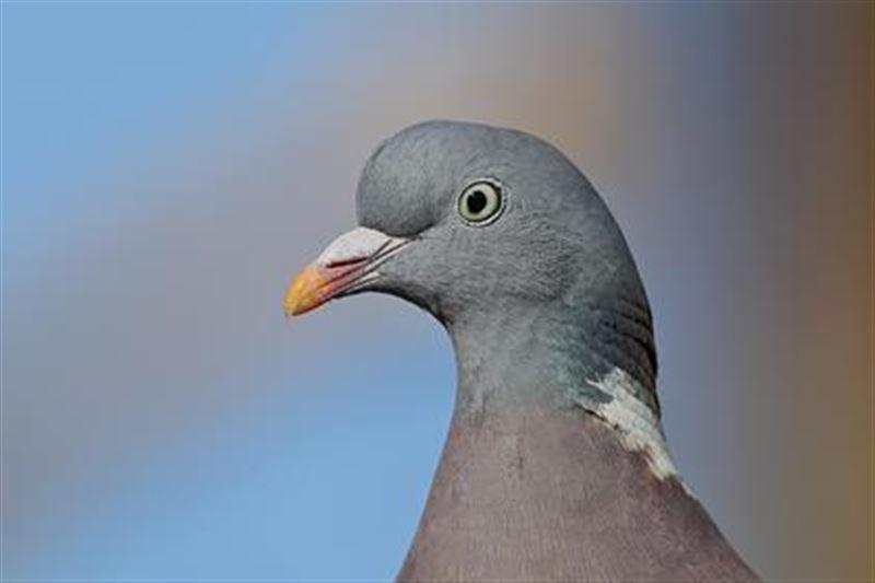 В Индии освободили голубя, подозреваемого в шпионаже