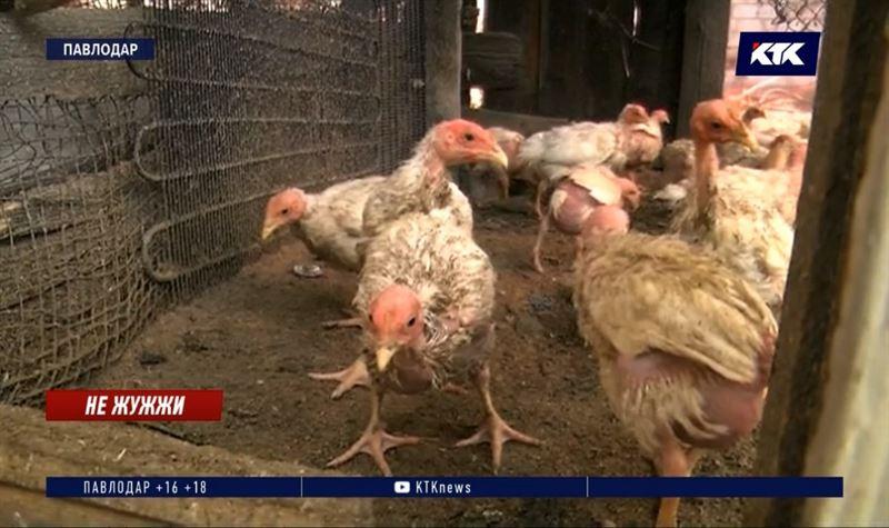 Мошки заели около 200 цыплят в поселке близ Павлодара