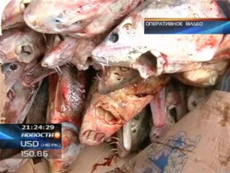 В Атырау с рекордной партией осетровых задержали браконьеров