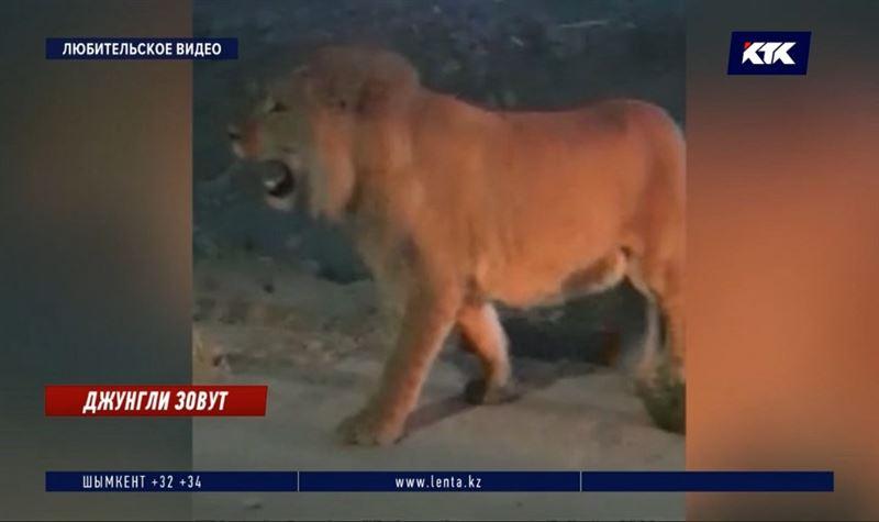 Львенок Симба во время прогулки по Актау напугал жителей