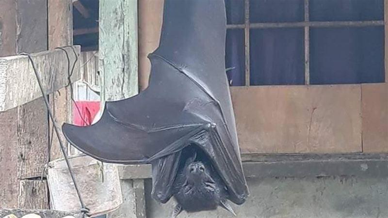 На Филиппинах сфотографировали летучую мышь размером с человека
