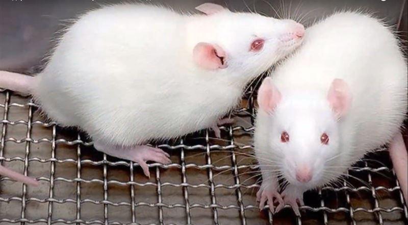Китайские ученые создали восприимчивых к коронавирусу мышей