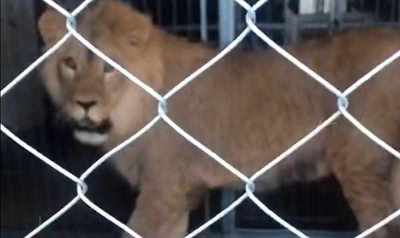 Льва Симбу из Актау увезут в зоопарк Алматы