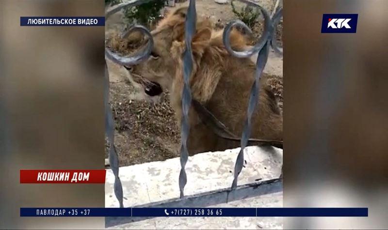 Выброшенный на улицу лев Симба прилетит в Алматы