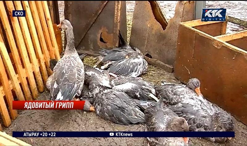 Птичий грипп в СКО: как со смертельной инфекцией справляются фермеры и как спастись людям