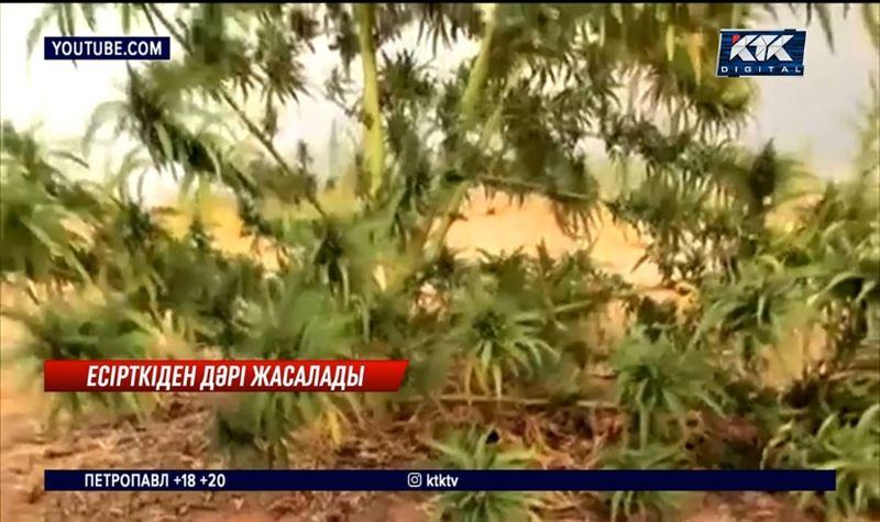 Жамбыл облысында Шудың есірткісін өңдейтін зауыт салынады
