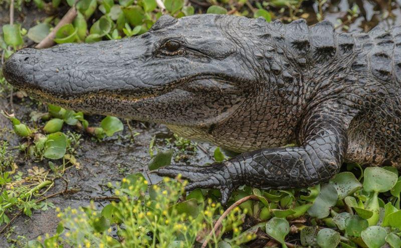 Аллигатор пробрался во двор жилого дома в США