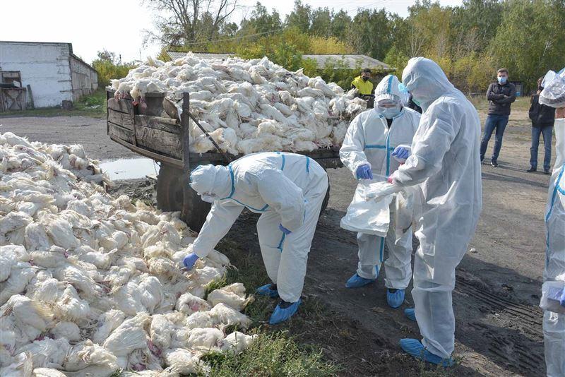 Массовый падеж птицы начался на фабрике в Северо-Казахстанской области