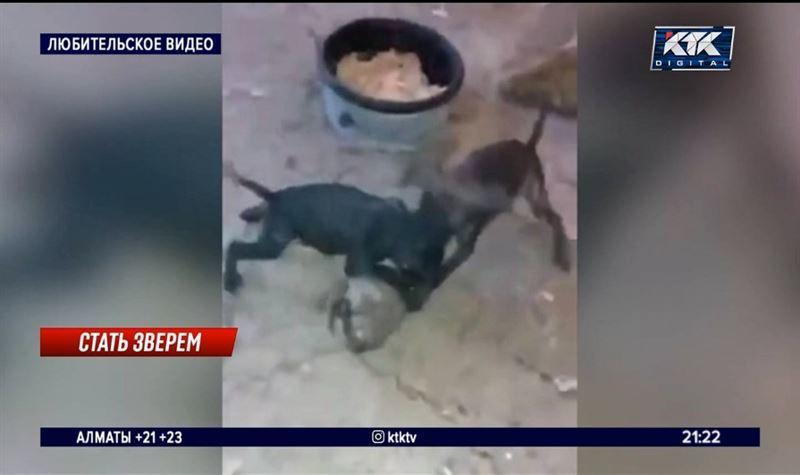 «Они обречены»: подготовка щенков к боям превращена в бойню