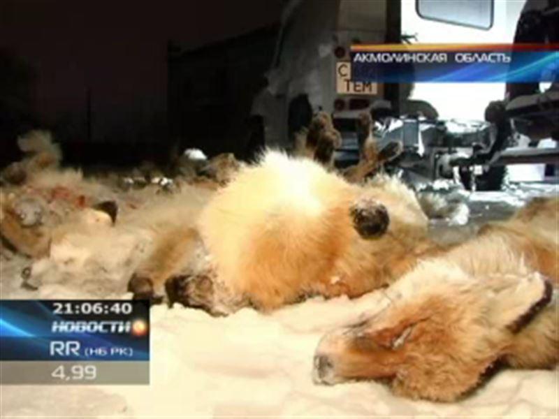 В Акмолинской области задержали браконьера, который за одну ночь убил 40 лисиц