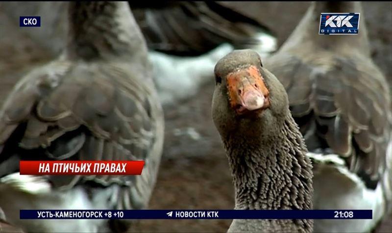 Жители СКО не знают, что делать с выжившей птицей