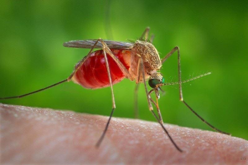 Опасные комары были обнаружены в Турции