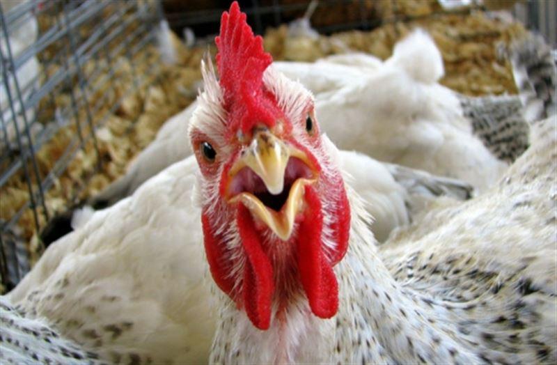 Сколько птиц погибло от птичьего гриппа в СКО