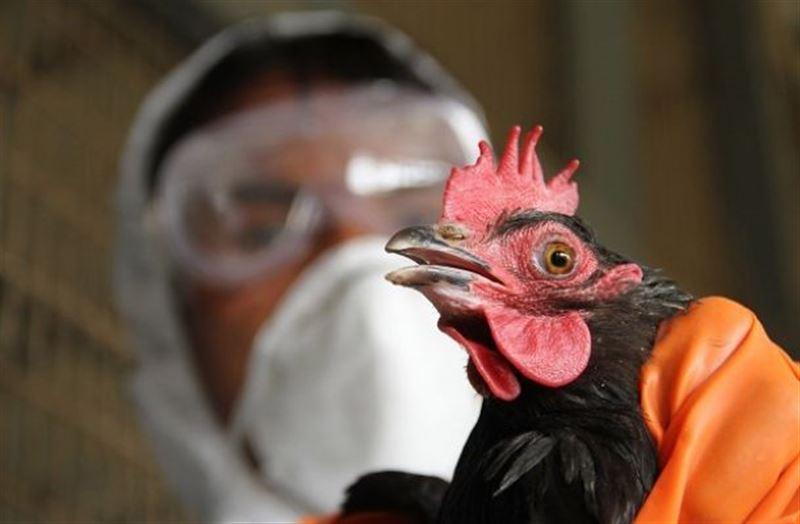 Множество кур утилизируют в Костанайской области из-за птичьего гриппа
