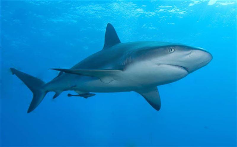 Акул могут истребить ради масла для вакцины против КВИ