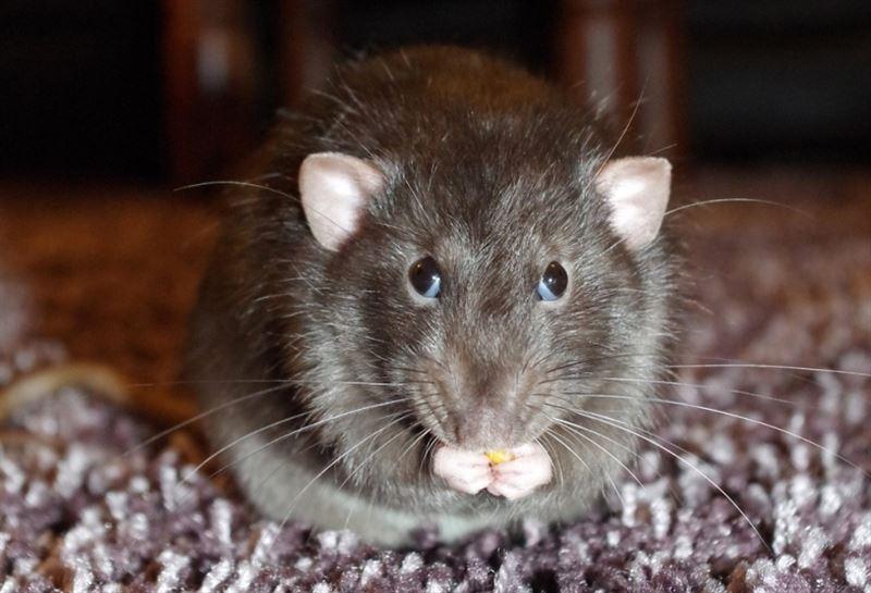 Крысе-саперу вручили награду за храбрость