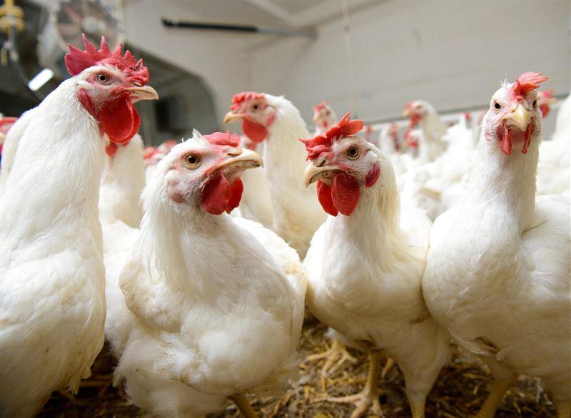 Алматинцев просят зарегистрировать домашних птиц из-за вируса