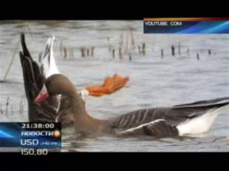 Пискульку назначили птицей года в Казахстане