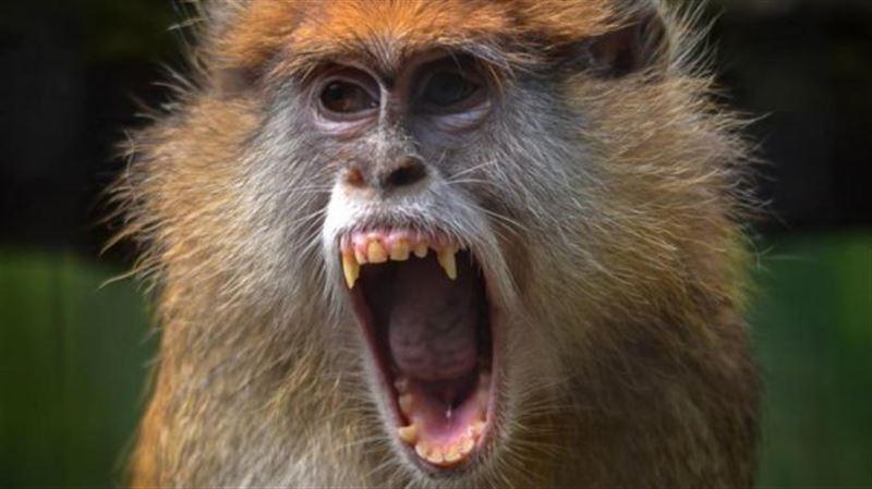 Стая агрессивных обезьян убила 13-летнюю девочку