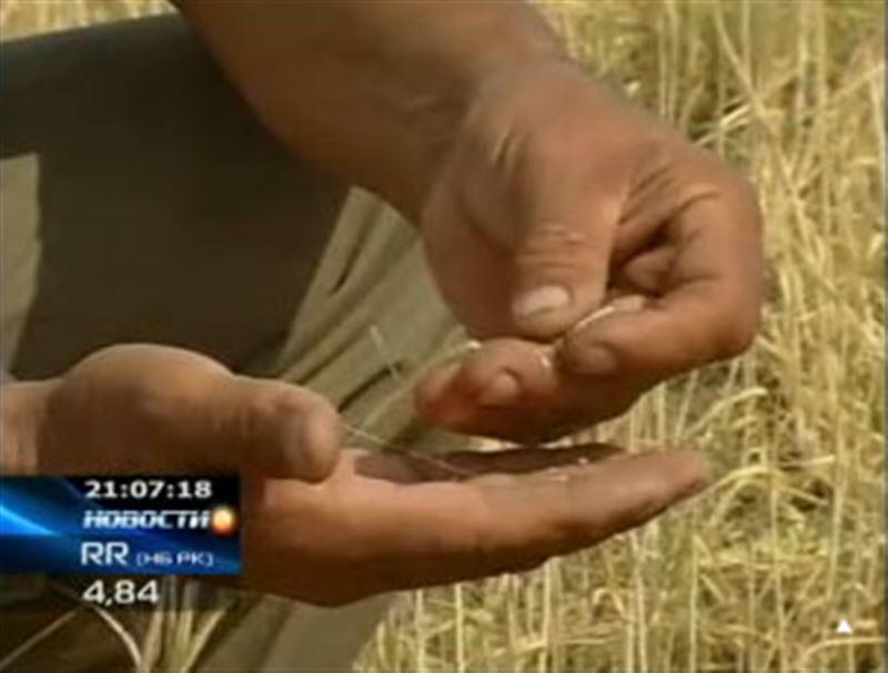 Крестьяне Актюбинской области на грани разорения: солнце уже погубило более 20 процентов урожая