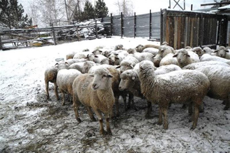 В Костанайской области неизвестный зверь загрыз овец