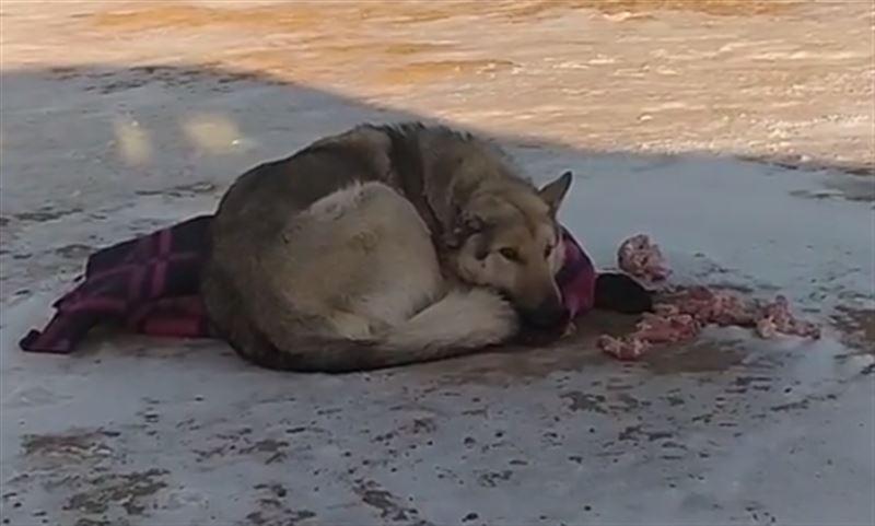 Собаку с отстреленным ухом сняли на видео в Акмолинской области
