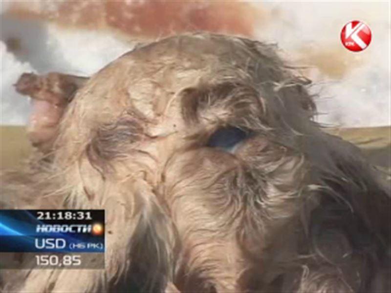 Трёхглазый ягнёнок с восьмью ногами родился в Павлодарской области