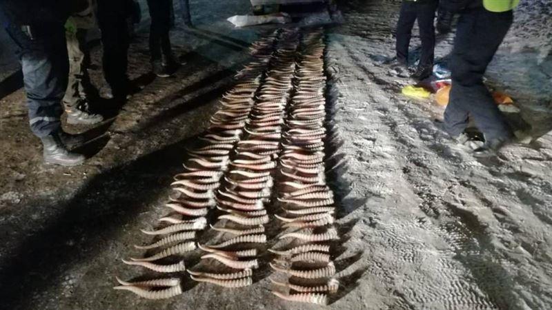 У браконьеров изъяли партию рогов сайги на 17 млн тенге
