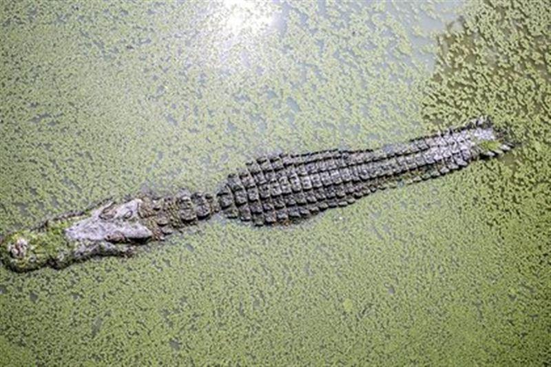 Крокодил целиком проглотил восьмилетнего мальчика