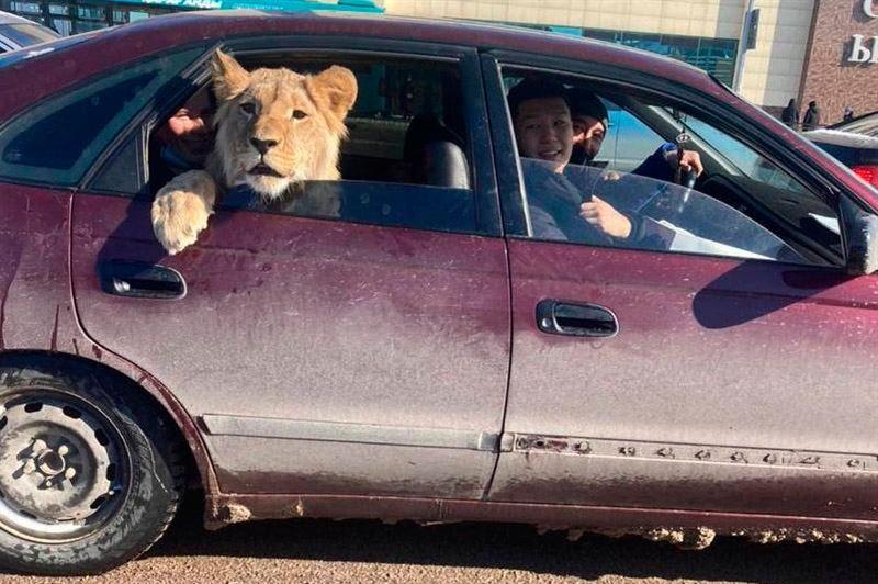 Лев в машине: в Минэкологии выяснили, кому принадлежит животное