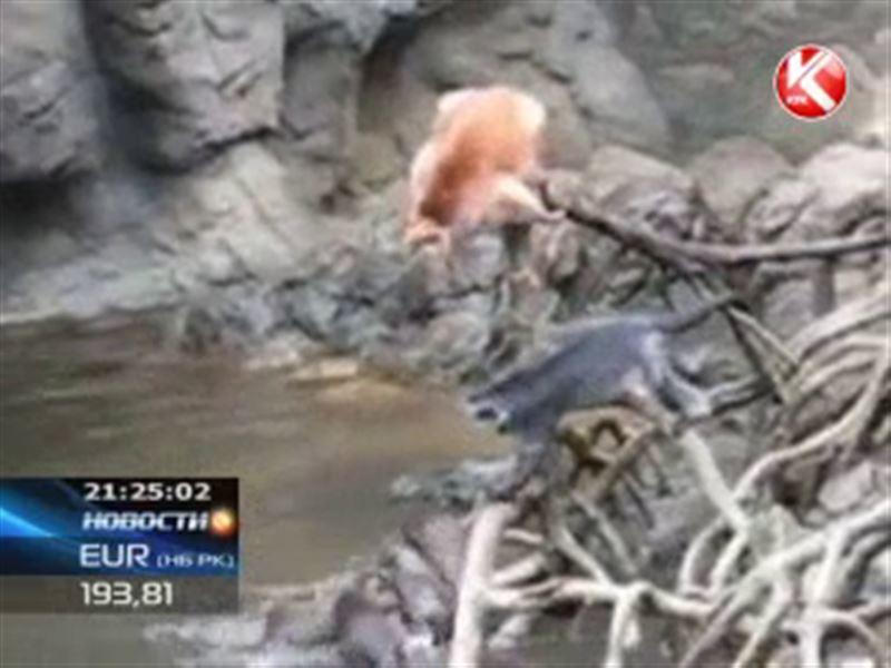 Выдры загрызли мартышку в нью-йоркском зоопарке