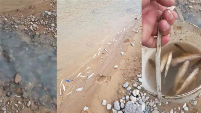 Түркістан облысындағы Бадам өзенінде жаппай балық қырылып жатыр