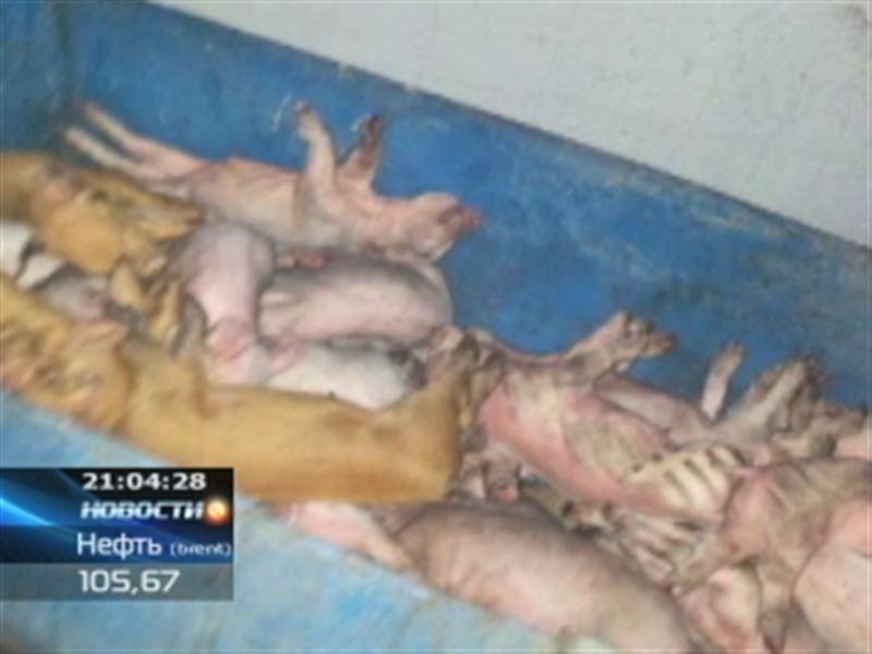 В Павлодаре заживо сгорели около 3 тысяч свиней
