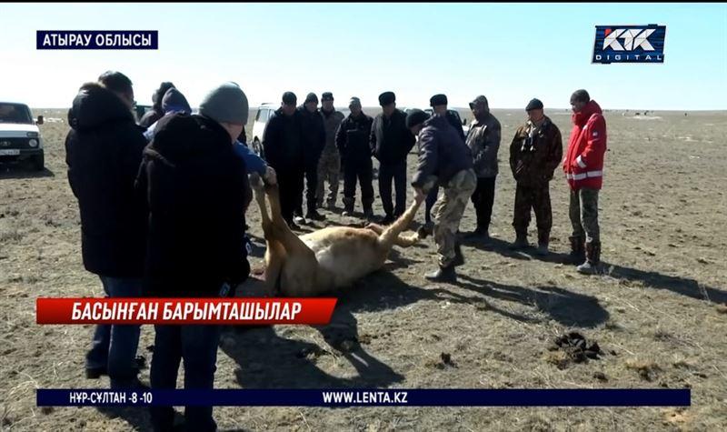 Атырау облысында барымташылар буаз биелердің қарнын жарып кетіп жатыр