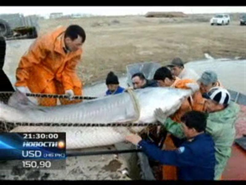 В Атырау рыбаки поймали белугу весом почти в 300 килограммов