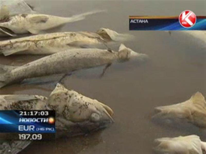 В центре Астаны побережье Есиля усыпано мёртвой рыбы