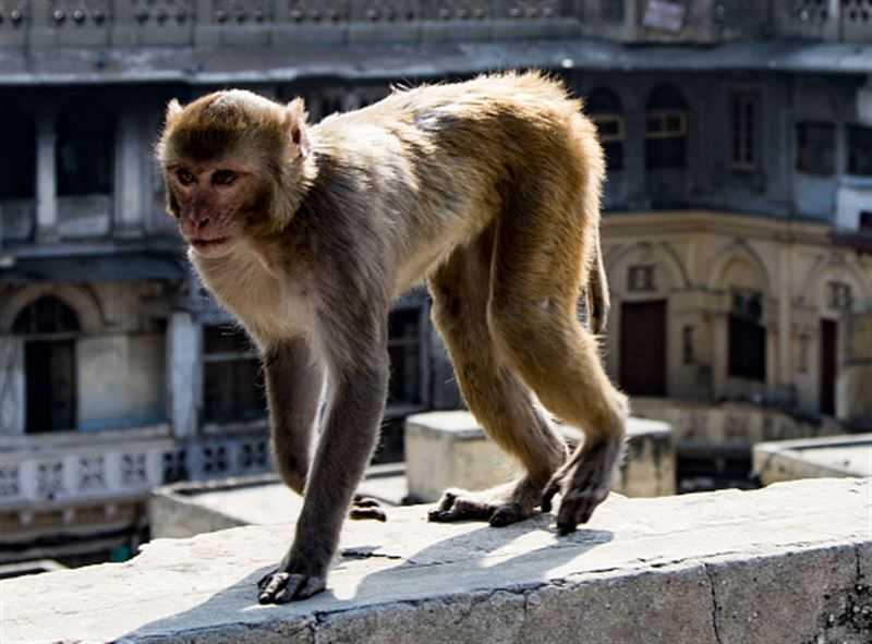 Задержаны аферисты, научившие обезьян воровать