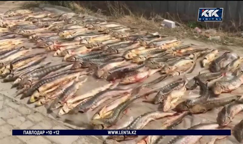 25 жастағы браконьердің үйінен 1 тонна бекіре тәркіленді – Атырау