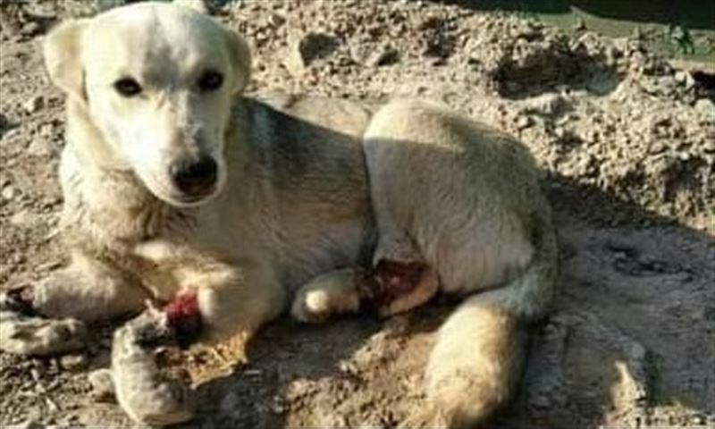 Собаке вырезали нос и перерезали лапы: Зоозащитники требуют найти маньяка, калечащего животных