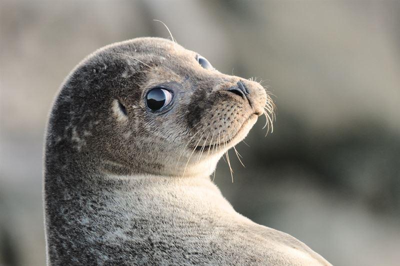 В Мангыстауской области спасли детеныша тюленя