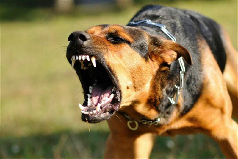 Бродячие собаки нанесли более сотни укусов 9-летней девочке
