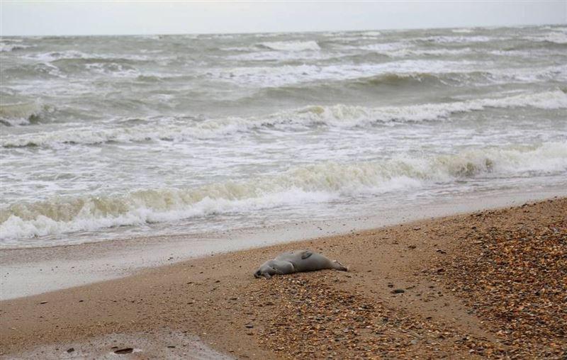 Каспий жағалауында сирек кездесетін 150 өлі итбалық табылды