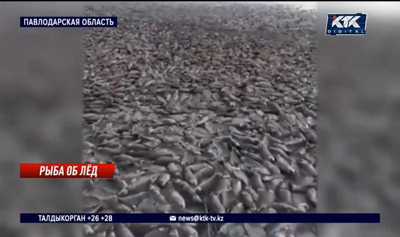 Сотни окуней и карасей погибли в озере под Павлодаром
