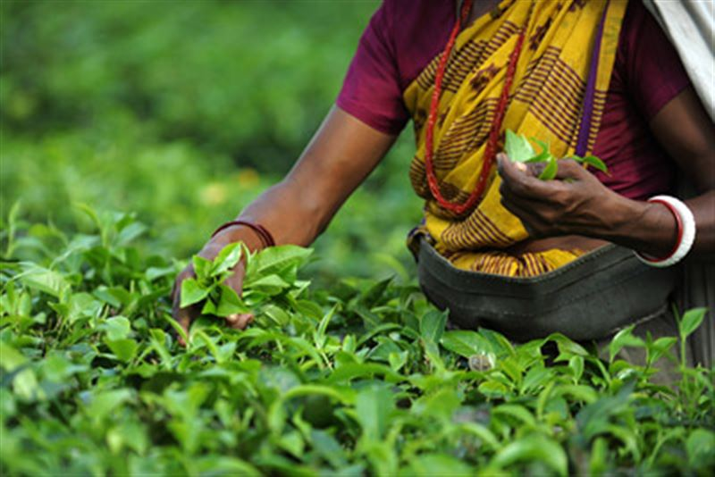 Индийский чай может вскоре подорожать в Казахстане